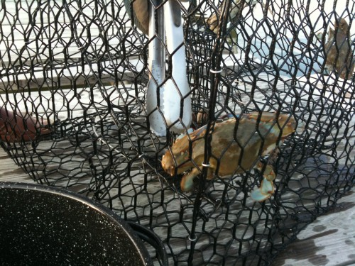 extracting the captured blue crabs