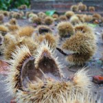 chestnut pods - furry